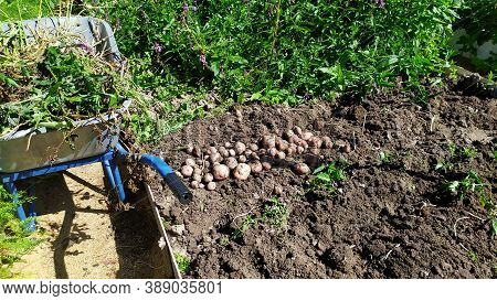 Weeding The Garden From Weeds. Grass In The Cart. Potato Harvesting On The Garden Plot.