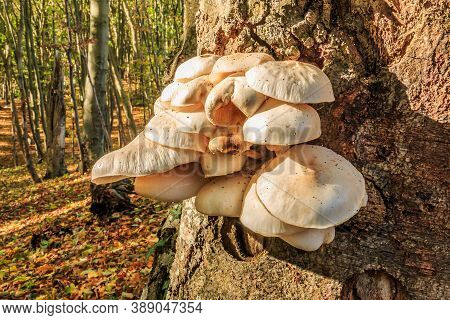 Several Oyster Mushrooms Grow On A Trunk Of A Deciduous Tree. Mushrooms With White Light Cap On The