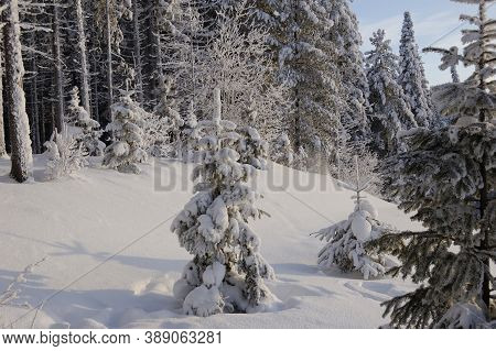 Young Christmas Tree Covered With A Thick Layer Of Snow, Branches Lowered Low Under The Weight Of Sn