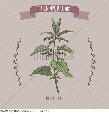 Urtica Dioica Aka Common Nettle Color Sketch. Green Apothecary Series.