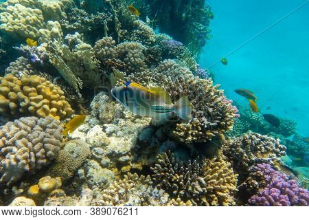 Arabian Picassofish (rhinecanthus Assasi, Triggerfish) In A Colorful Coral Reef, Red Sea, Egypt. Unu