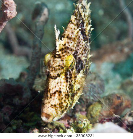 Macro shot of a tropical fish Filefish underwater