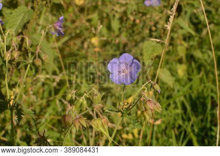 Geranium Pratense, Blue Flowers Macro.flowers Of Meadow Geranium