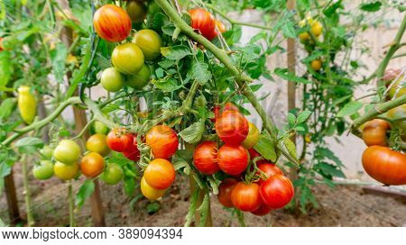 Fresh Ripe Tomatoes On A Branch. Tomato Bush With Harvest. Growing Organic Tomatoes Outdoors In Rais