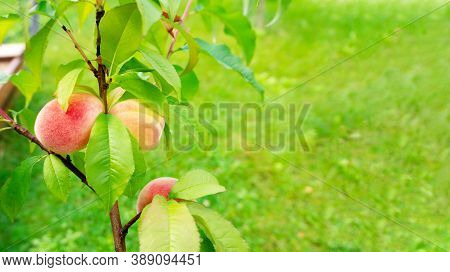 A Peach Tree Branch With Ripe Peach Fruits On A Green Lawn Background With Copy Space. Оrganic Garde