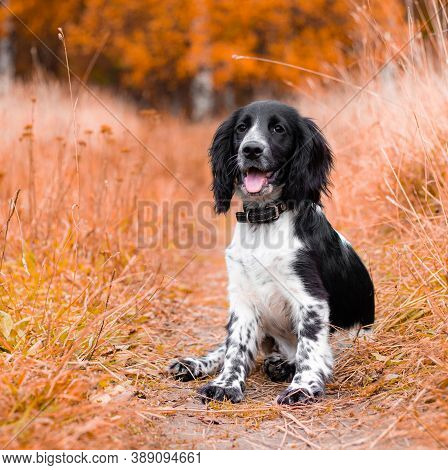 Spaniel Hunting For A Walk In The Fall. Dog On A Walk In Autumn. Autumn Portrait Of An Animal. Puppy