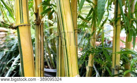 Striped Stalks Of Golden Bamboo In A Tropical Wet Forest. A Close Up Photo Of Bamboo Stalks As A Raw