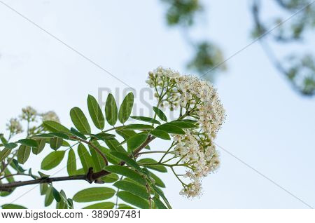 The Creamy White Tiny Blossoms Of Sorbus Aucuparia Or Rowan Ash