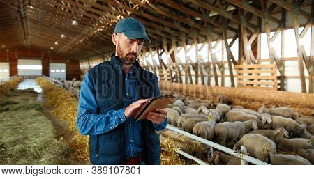 Caucasian Man Shepherd Walking In Shed With Cattle Animals And Using Tablet Device. Male Farmer In S