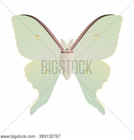 Asian Luna Moth From China (actias Artemis) Isolated On White Background. Vector Illustration. Butte