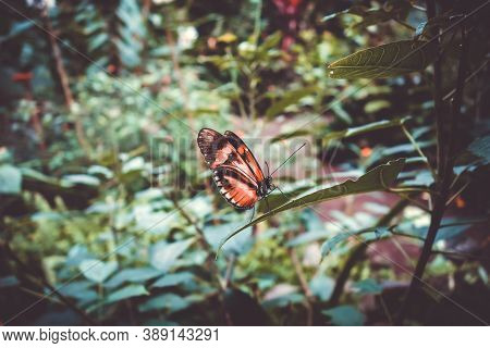 Tropical Monarch Butterfly On A Leaf In Rainforest. Orange Dione Juno