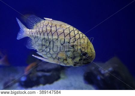 Monocentris Japonica, The Japanese Pineapplefish, Is A Pinecone Fish Of The Family Monocentridae, Fo