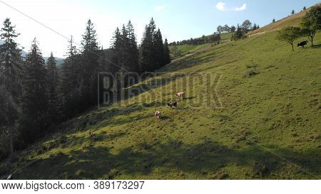 Aerial View Of Cows On The Green Meadow. Wide Glade In Mountains. Tall Fir Trees Nearby.
