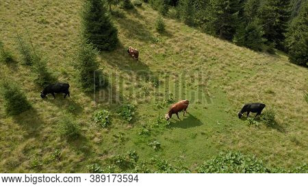 Mountain Landscape With Cows. Domestic Beasts Are Chewing Green Grass On The Summer Meadow.