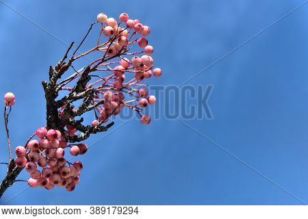 Very Unusual Autumn Colors Represented By Pink Berries Against The Clear Blue Sky. Beautiful Autumna