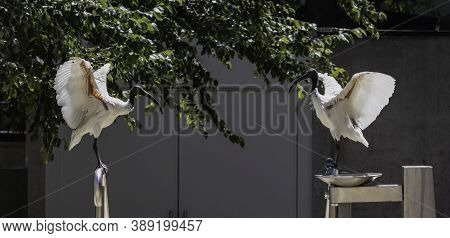 A Pair Of Australian White Ibises Flapping Their Wings On A Sunny Day On A Brisbane, Australia, Stre