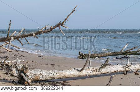 Dead Trees On The Beach At Cape Kolka. Coast Of The Baltic Sea In Latvia.