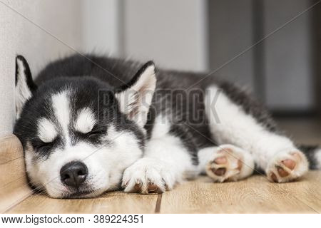 Husky Puppy Is Sleeping On The Floor. Cute Puppy Of Husky Is Sleeping.