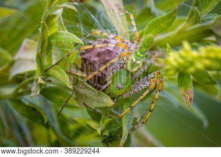 A Green Lynx Spider (peucetia Viridans) Protects Her Egg Sac. Raleigh, North Carolina.