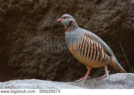 Barbary Partridge - Alectoris Barbara Is Gamebird In The Pheasant Family (phasianidae) Of The Order