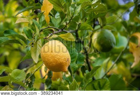 Lemons Growing On The Lemon Tree In Belmont, California