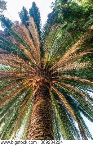View Of The Base Of A Palm Tree. Belmont, California