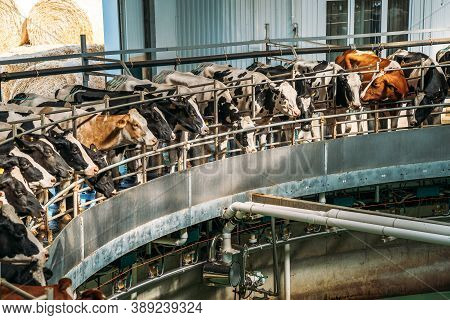 Round Rotary Machine For Milking Cows In Dairy Farm.