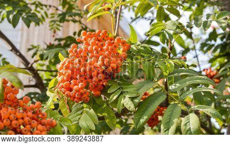 Red Ripe Rowan Berries On The Rowan Tree Branches Bottom Up View, Ripe Rowan Berries Close Up In Sum