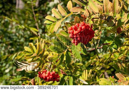 The Red Berries Of A Mountain Ash Or Sorbus Aucuparia In Late Summer