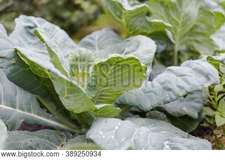 Green Cabbage. Grow Cabbage In The Garden. Agriculture. Natural Vegetables. Fresh Cabbage. Healthy F