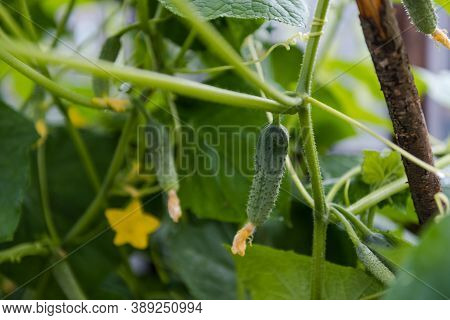 Cucumbers In The Garden. Small Cucumbers Are Hanging. Homemade Vegetables. Healthy Foods. Agricultur