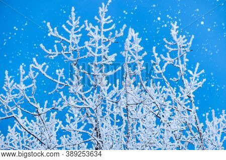Winter Christmas Scenic Landscape. White Birch Branches In Rime Close-up, Falling Snow.