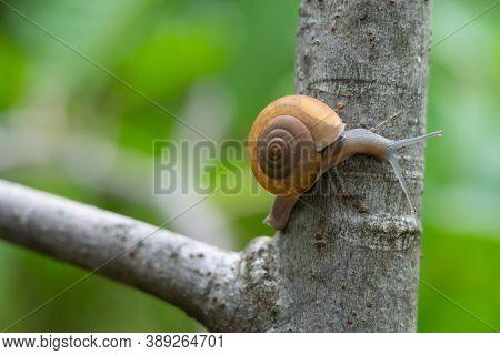 Thai Snail Or Soil Snail (hemiplecta Distincta) On The Tree Leaf In The Garden After Rain Snail Or S