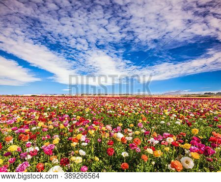 Blooming multi-colored large buttercups. Picturesque fields in the Israeli kibbutz. Wonderful warm spring weather, sunny day. The concept of botanical, environmental and photo tourism