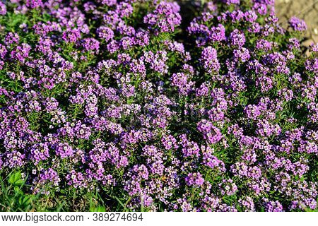 Many Purple Flowers Of Lobularia Maritima, Commonly Known As Sweet Alyssum Or Sweet Alison, In A Gar