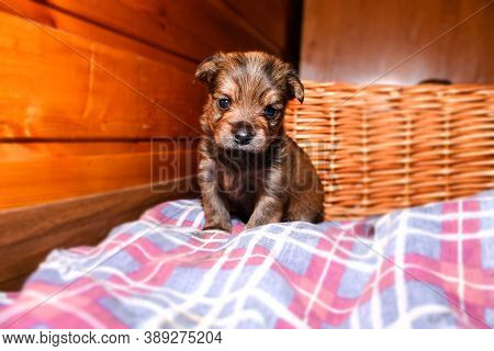 Puppy Close-up Portrait. Newborn Yorkshire Terrier Puppy Sitting And Looking At The Camera