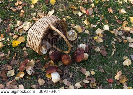Freshly Picked Mushrooms Are Scattered From A Wicker Basket In A Forest Glade. Next To The Autumn Le