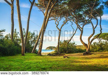 Pine Trees, Beach And Sea At Sunset In Maremma. Baratti, Piombino, Tuscany, Italy