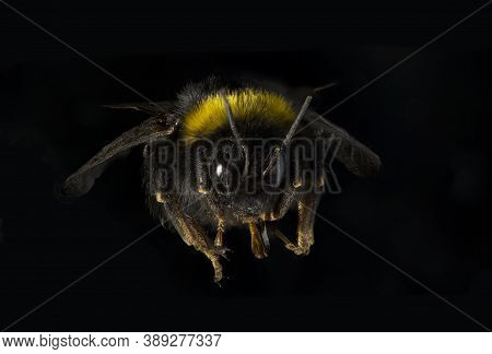 Bombus Terrestris, The Buff-tailed Bumblebee Or Large Earth Bumblebee, Is One Of The Most Numerous B