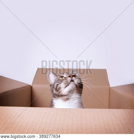 Curious Cat In A Cardboard Box Or Carton Looking Up To Copy Space