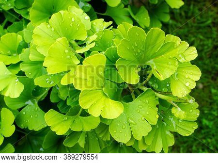 Gingko Biloba. Branch With Green Leaves With Waterdrops.