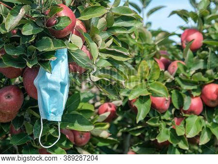 Used Disposable Medical Mask Is On Branch Of Tree After Harvesting. Apple Tree With Ripe Red Apples