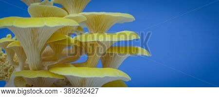 fresh mushrooms lemon oyster mushroom for cooking vegetarian meals with a large amount of protein