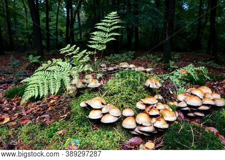 Sulfur Tuft Beautiful Autumn Mushrooms With A Beautiful Sulfur Color In A Large Group Especially On
