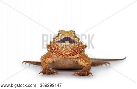 Young Adult Orange Bearded Dragon Aka Pogona Vitticeps, Standing Facing Front With Mouth Open And Sh