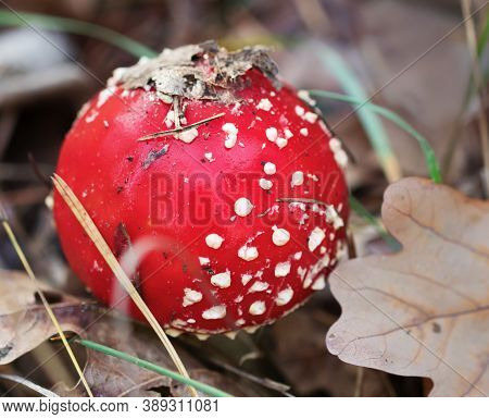 Red Amanita Muscaria Mushroom Covered With Dry Oak Leaves. Toxic Mushroom Fly Agaric Growing In Fore