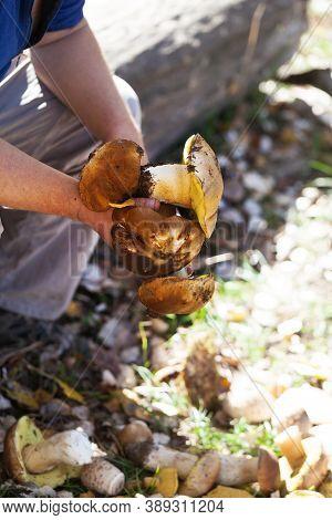Porcini Mushrooms In Hand Of Mushroom Picker In Forest At Fall Season. Harvest Of Edible Mushrooms F