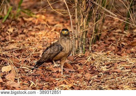 Crested Serpent Eagle Or Spilornis Cheela Portrait Ground Perched With One Leg At Bandhavgarh Nation