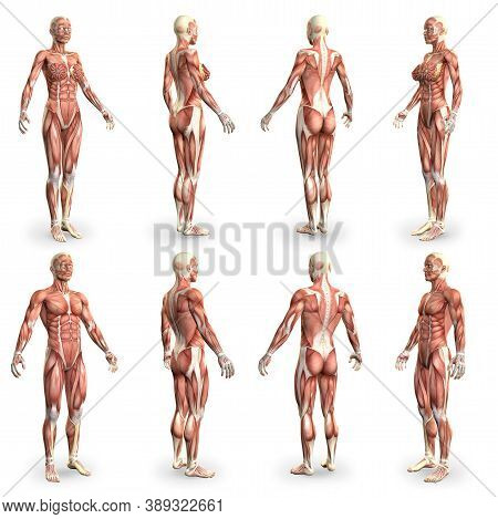 8 Detailed Images In 1, Male And Female Bodies With Muscle Map - Anatomy Concept For Medicine - Crea