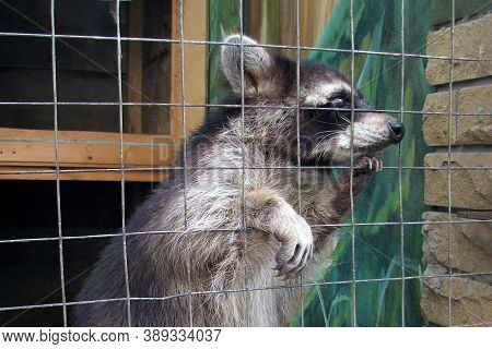 The Raccoon In The Cage Looks Sad And Plaintively Asks For Food. Animal In The Zoo Behind The Bars O